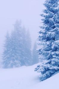 Fir in winter landscape